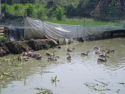 Domestic Ducks_China_EHA_AC.jpg